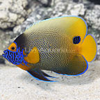 Blueface Angelfish Adult (click for more detail)