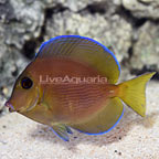 Caribbean Blue Tang Changing (click for more detail)