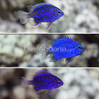 Blue Sapphire Damselfish (Trio) (click for more detail)