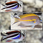 Bellus Angelfish (Trio) (click for more detail)
