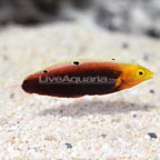 African Radiant Wrasse (click for more detail)