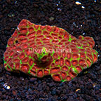 Dipsastraea Brain Coral Indonesia (click for more detail)