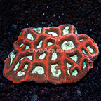 Aussie Reverse Prism Goniastrea Brain Coral (click for more detail)