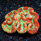 Aussie Open Brain Coral  (click for more detail)