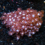Aussie Flowerpot Coral  (click for more detail)