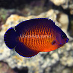 Fijian Coral Beauty Angelfish (click for more detail)