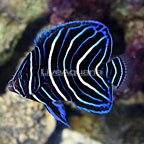 Koran Angelfish Juvenile (click for more detail)