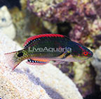 Exquisite Fairy Wrasse Terminal Phase Male (click for more detail)