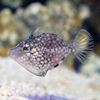 ORA® Captive-Bred Whitespotted Pygmy Filefish (click for more detail)