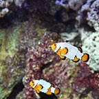 ORA® Captive-Bred Premium Snowflake Clownfish (Bonded Pair) (click for more detail)