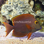 Yellow Eye Kole Tang (click for more detail)