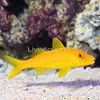 Fijian Yellow Goatfish (click for more detail)
