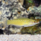 Green Wrasse (click for more detail)