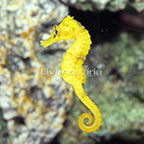 Captive-Bred Brazilian Longsnout Yellow Seahorse Female (click for more detail)