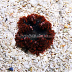 Caribbean Ultra Rock Flower Anemone Multicolor (click for more detail)