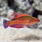 Linespot Flasher Wrasse Terminal Phase Male (click for more detail)