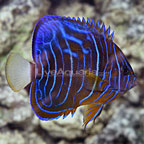 Annularis Angelfish Changing (click for more detail)