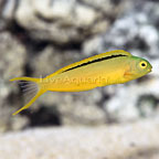 Green Canary Blenny (click for more detail)