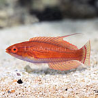 Yellowfin Flasher Wrasse Terminal Phase Male (click for more detail)