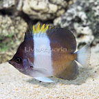 Black Zoster Butterflyfish (click for more detail)