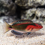 African Exquisite Fairy Wrasse Terminal Phase Male (click for more detail)
