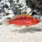 Rose-Band Fairy Wrasse Terminal Phase Male (click for more detail)