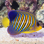 Indian Ocean Regal Angelfish EXPERT ONLY (click for more detail)