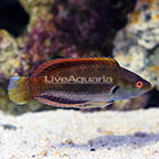 Fine Spotted Fairy Wrasse Terminal Phase Male (click for more detail)