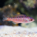 Blue Diamond Creole Wrasse Juvenile (click for more detail)