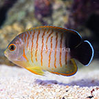 Red Stripe Eibli Angelfish [Blemish] (click for more detail)