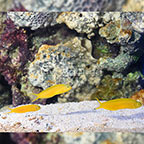 Fijian Canary Blenny (Trio) (click for more detail)