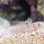 Orange Stripe Prawn Goby (click for more detail)