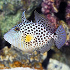 West African Golden Heart Triggerfish (click for more detail)