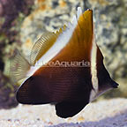 Heniochus Brown Butterflyfish (click for more detail)