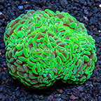 Aussie Swirly Hammer Coral (click for more detail)
