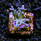 TCN Super Blue Turaki with Light Pink Tips Acropora Coral (click for more detail)