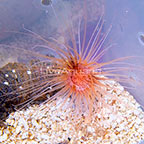 Tube Anemone Orange with Pink Center (click for more detail)