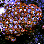 Fiery Grape Colony Polyp Rock Zoanthus Indonesia IM (click for more detail)