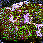 Emeralds on Fire and Green Crossettes Colony Polyp Rock Zoanthus Indonesia IM (click for more detail)