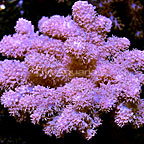 Cauliflower Colt Coral Fiji (click for more detail)