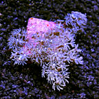 LiveAquaria Purple Anthelia Coral (click for more detail)