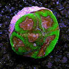 LiveAquaria Holly Berry Brain Coral (click for more detail)
