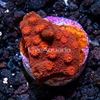 LiveAquaria® Red and Orange Cyphastrea Coral (click for more detail)