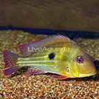 Redstriped Eartheater Cichlid [Blemish] (click for more detail)