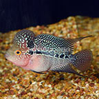 Cherry Hump Head Flowerhorn Cichlid (click for more detail)
