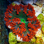 Premium Rock Flower Anemone  (click for more detail)