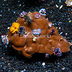 Aussie Encrusting Porites Coral with Christmas Tree Worms (click for more detail)