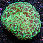 Aussie Hammer Coral  (click for more detail)