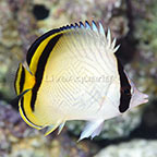 Fijian Aberrant Vagabond Butterflyfish (click for more detail)