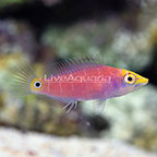 Mystery Wrasse  (click for more detail)